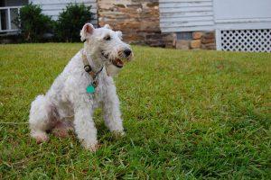 Wire Fox Terrier General Breed Profile - Wire Fox Terrier Breeders ...